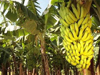 I Encontro com Produtores de Banana. Participem!